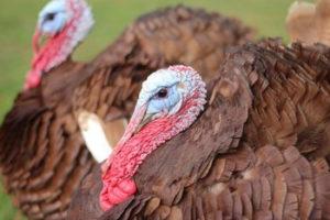 Thankful for Turkey