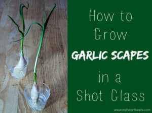 How to Grow Garlic Scapes Indoors