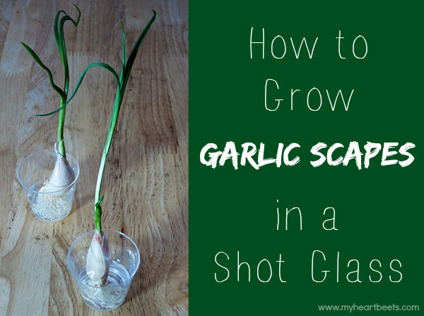 grow garlic scapes in a shot glass - on your windowsill! myheartbeets.com